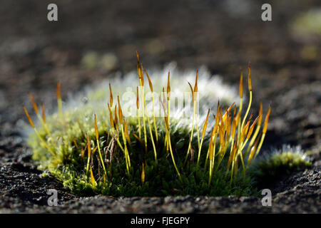 Wall screw-moss (Tortula muralis). A cushion of a common moss showing sporophytes and silver colour from excurrent - Stockfoto