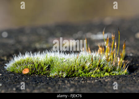 Wall screw-moss (Tortula muralis) wide. A cushion of a common moss with sporophytes and silver colour from projecting - Stockfoto