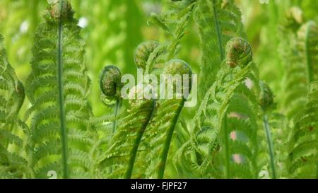 Curled Fern Leaves - Stockfoto