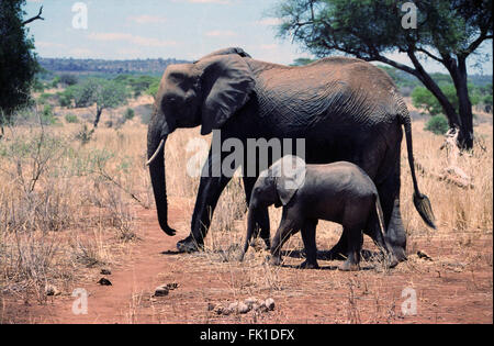 A mother and baby elephant walking through the bush in the Tarangire National Park of Tanzania. - Stock Photo