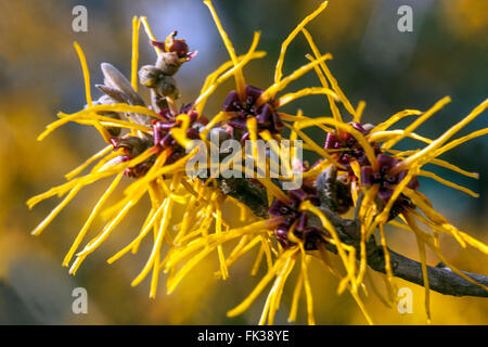 Witch hazel français