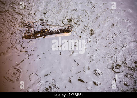 Spectacled caiman (Caiman crocodilus) (Common caiman) (White caiman), Amazon Rainforest, Coca, Ecuador, South America - Stock Photo