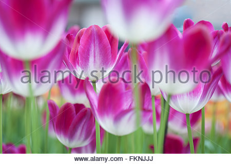 Field of pink-white tulips. Selective focus and low angle of view.Photographed in Keukenhof botanic garden in 2015 - Stock Photo