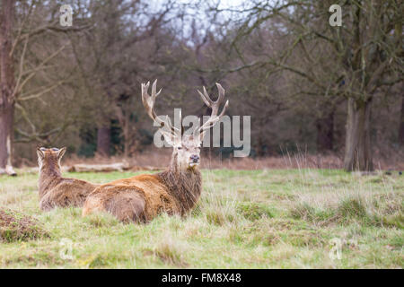 Think, that mature male red deer