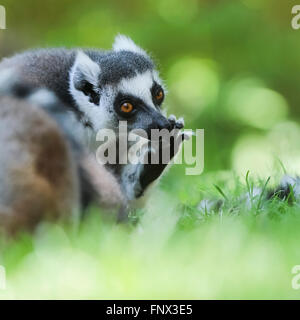 Ring-tailed Lemur (Lemur Catta) basking in the sun, Madagascar, Africa - Stockfoto