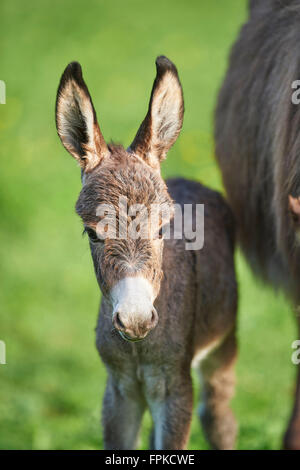 Donkeys, Equus asinus asinus, foal, meadow, head-on, standing, looking at camera - Stock Photo
