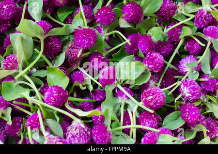 Purple Globe Amaranth or Bachelor Button flower (Gomphrena globosa L.) - Stock Photo