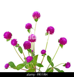 Globe amaranth beauty flower in white background - Stock Photo