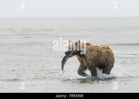 A brown bear sow hauls away a coho (silver) salmon in Lake Clark National Park & Preserve, Alaska. - Stock Photo