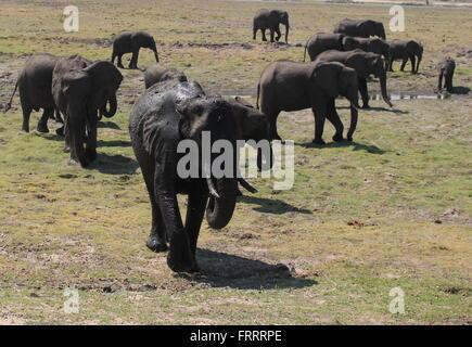 Elephant herd walking along the banks of the chobe river, Botswana - Stock Photo