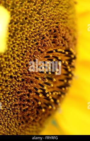 Macro shot of  sunflower center - Stock Photo