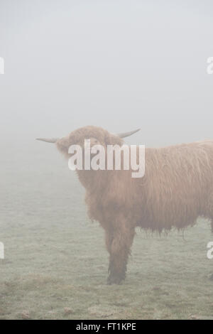 Highland cow in the fog in winter. UK - Stock Photo