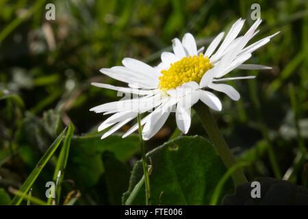A macro image of a common garden spring Daisy (Bellis perennis) taken in Durham, England. - Stock Photo