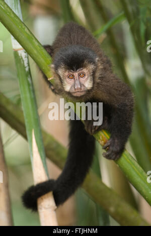 A Black Capuchin Monkey from the Atlantic Rainforest of SE Brazil - Stock Photo