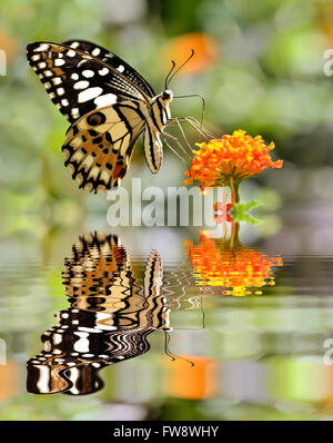 Lime butterfly (Papilio demoleus) feeding on flower (Lantana camara) above water with big reflection, digital effect - Stock Photo
