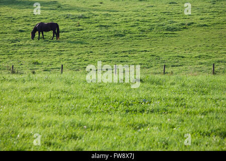 A dark horse grazing in the early morning sunshine in a british field. Peace adn tranquility are emotions provoked - Stockfoto