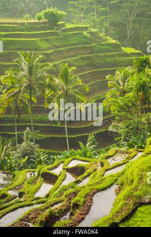 Beautiful rice terraces in the moring light near Tegallalang village, Ubud, Bali, Indonesia. - Stock Photo