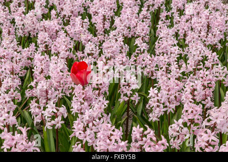 Spring time in he Netherlands: Odd one out- One red tulip flowering between pink hyacinths, Hillegom, South Holland. - Stock Photo
