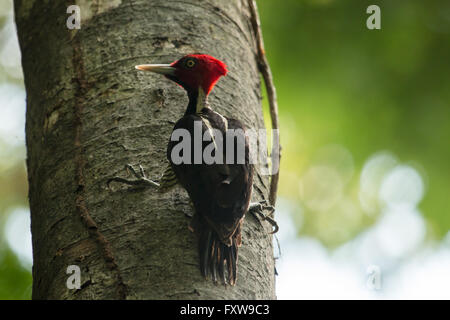 Pale-billed woodpecker - Campephilus guatemalensis - Stock Photo