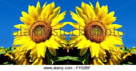 Double Your Pleasure - Double Vision Sunflowers - Stockfoto