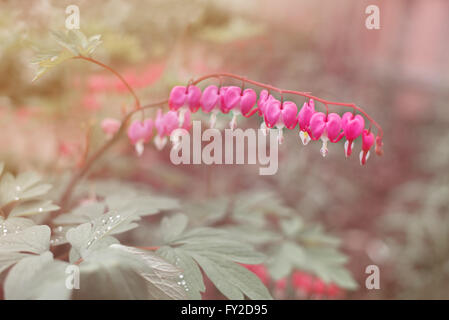 Heart shaped fuschia flowers. Dicentra spectabilis or broken heart in the garden - Stock Photo