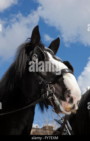Thwaites Brewery Horses, UK - Stock Photo