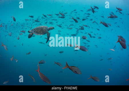 Pacific green turtle Chelonia mydas, with Pacific creolefish, Kicker Rock, Isla San Cristobal, Galápagos Islands - Stock Photo