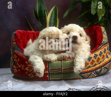 Two playful puppies biting each other whilst sitting in a dog bed, inside. - Stock Photo