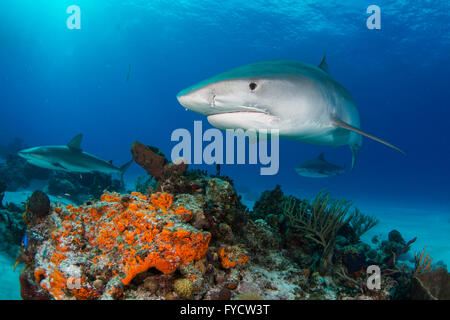 Tiger shark, Galeocerdo cuvier, swimming over coral reef, Bahamas - Stock Photo