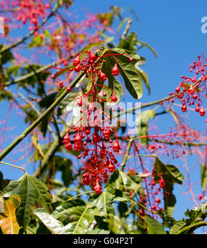 Australian Brachychiton acerifolius,  Illawarra Flame Tree, flowering in summer on a bare leafless tree is  a magnificent - Stock Photo