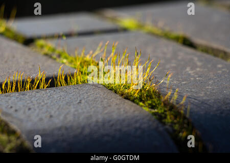 wall screw-moss - Stockfoto