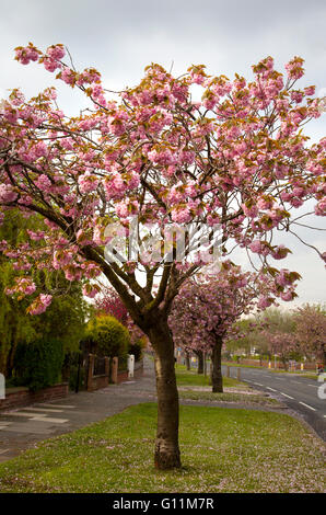 Southport, Merseyside, UK. 8th May, 2016. UK Weather: May flowering Cherry trees on Preston New Road starting to - Stock Photo