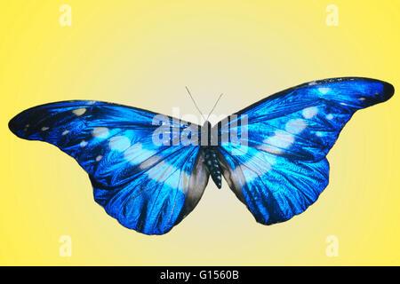 Morpho helena butterfly. - Stockfoto