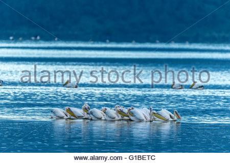 Kenya, Soysambu conservancy, Elmenteita lake, white pelican (Pelecanus onocrotalus), fishing - Stockfoto