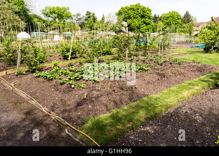 Greenhouse Shed And Raised Beds In The Community Allotment Garden In Stock Photo Royalty Free
