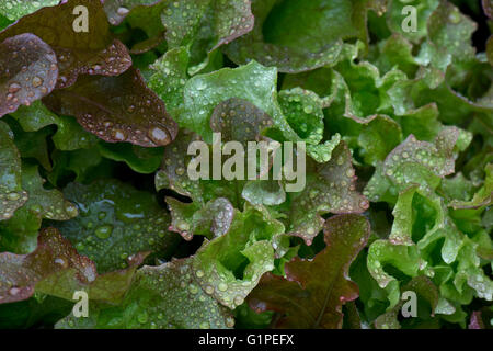 Pick and come again lettuce salad leaf vegetables growing in stock photo royalty free image - Salads can grow pots eat fresh ...