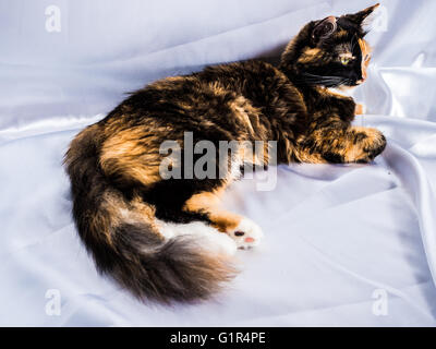 Three color furry winter cat  white silk background - Stock Photo