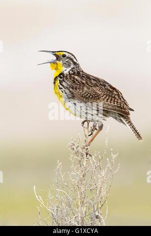 Western Meadowlark - Sturnella neglecta - Adult breeding - Stock Photo