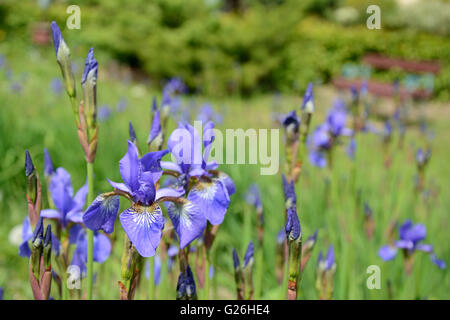 Iris blue flowers in garden close up - Stock Photo
