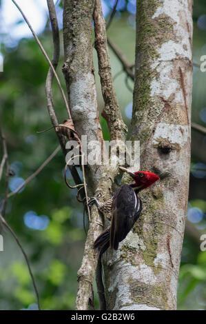 A Costa Rica pale billed woodpecker - Stock Photo