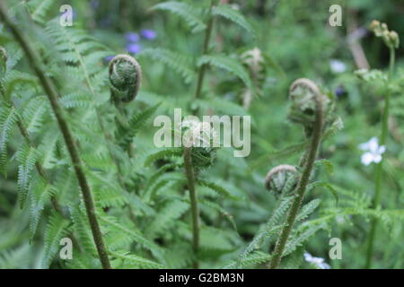 Wild curled fern leaves - Stockfoto