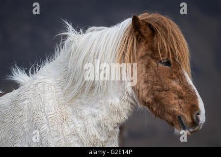 Icelandic horse, portrait, Vik, Iceland - Stock Photo