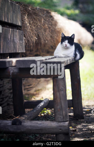 vertical photo of a black and white cat sitting and sleeping on a wooden rural bench near a fence - Stock Photo
