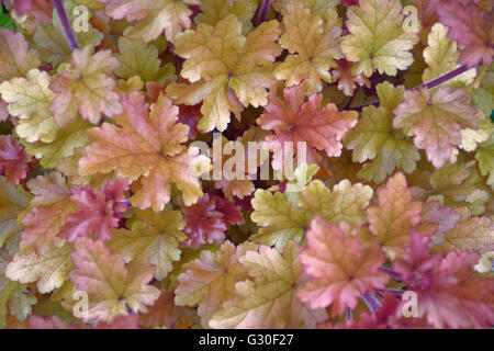 garden plant with variously colored leaves - Stock Photo