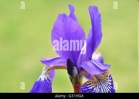Blue Iris petal close-up - Stockfoto