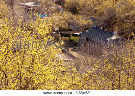 The village is full of yellow in the Cornus - Stock Photo