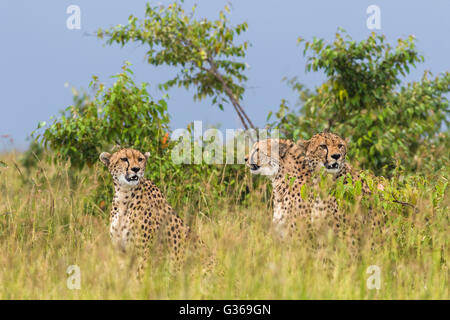Three cheetahs sitting together in grass looking around like they are hunting, two looking towards camera, Masai - Stock Photo