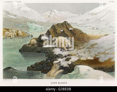 A group of polar bears in an  icy landscape.  One has caught  a fish and is warning the  others off with a fierce - Stock Photo