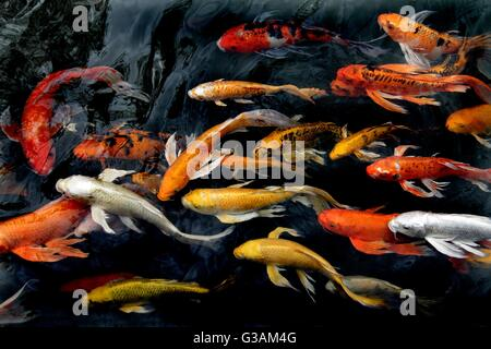 Koi or gold fish in a pond with a water lily stock photo for Pool koi aquatics ltd