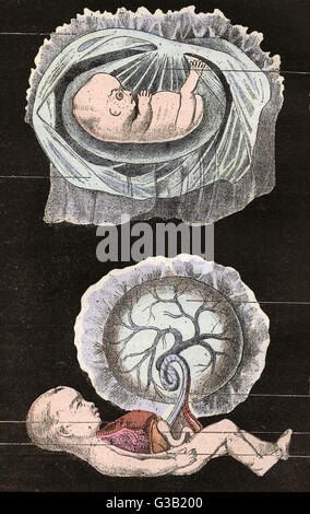The final stages of the human  embryo, normally before the  fourth month of pregnancy        Date: circa 1880 - Stock Photo